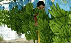 Bananos/Guineos